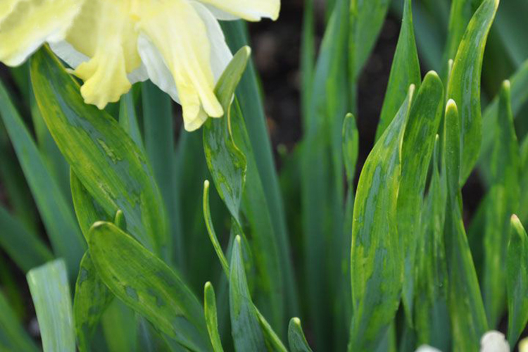 Тюльпаны и нарциссы посадка и уход в открытом грунте