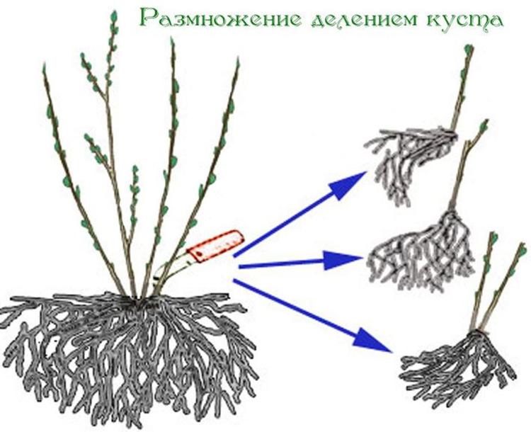 Выращивание облепихи: советы опытных садоводов