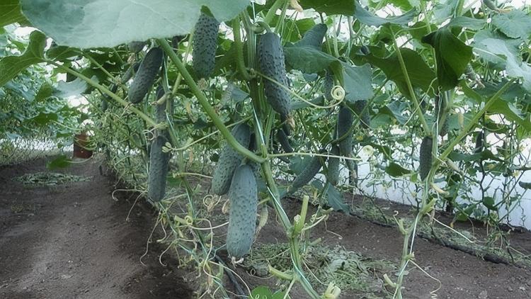 О посадке огурцов в теплицу семенами: когда и как можно сажать, сеять