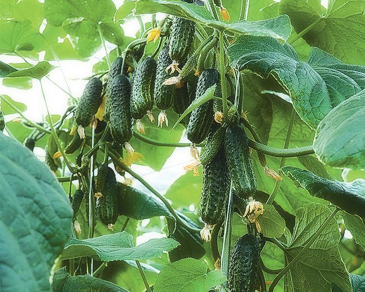 Выращивание огурцов в теплице: правила, советы, рекомендации