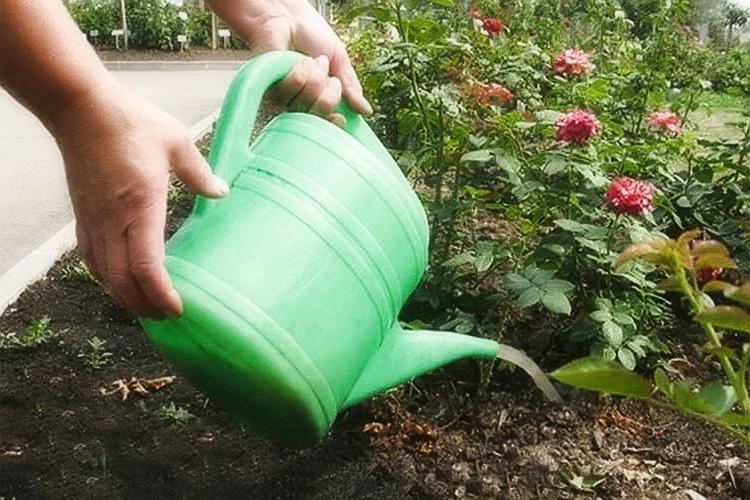 Выращивание парковых роз: советы опытных цветоводов