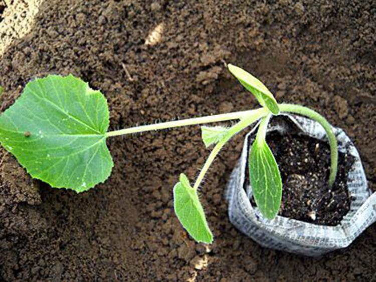 Выращивание патиссонов: сорта, правила посадки и уход