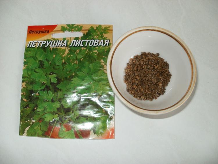 Выращивание петрушки дома и в открытом грунте
