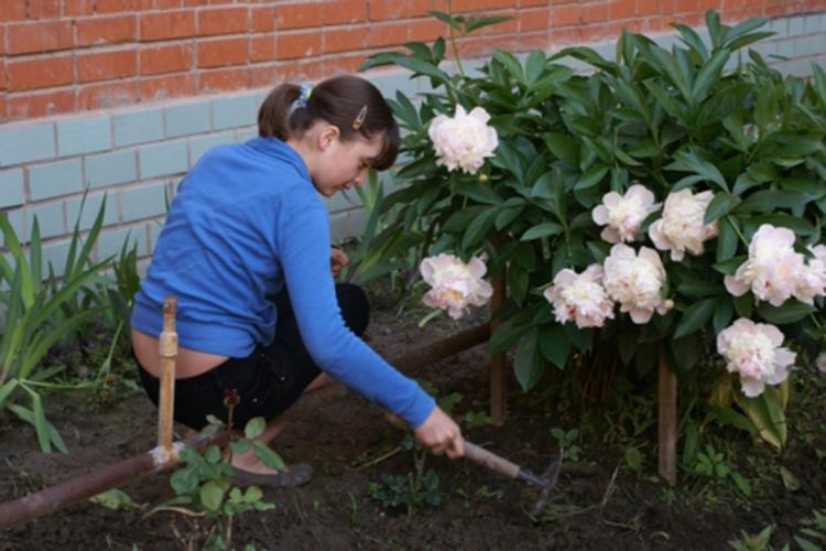 Выращивание пионов: сорта, подготовка, посадка, уход