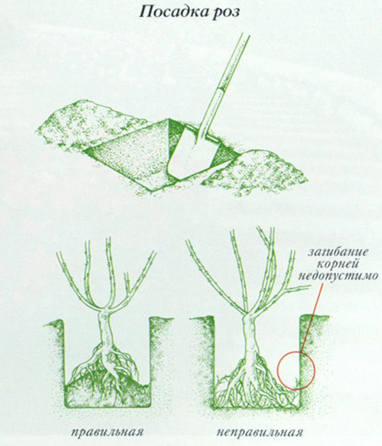 Выращивание плетистых роз: выбор сорта, посадка, уход