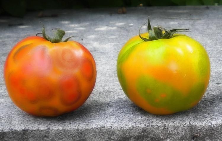 Выращивание ранних томатов в теплице: советы и правила