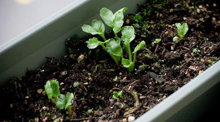 Выращивание ранункулюса на участке и в домашних условиях