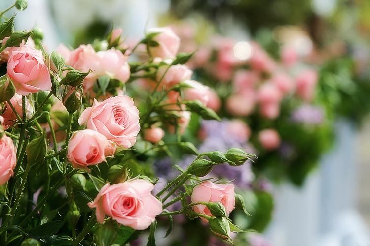 Выращивание роз спрей: выбор сорта, посадка, уход