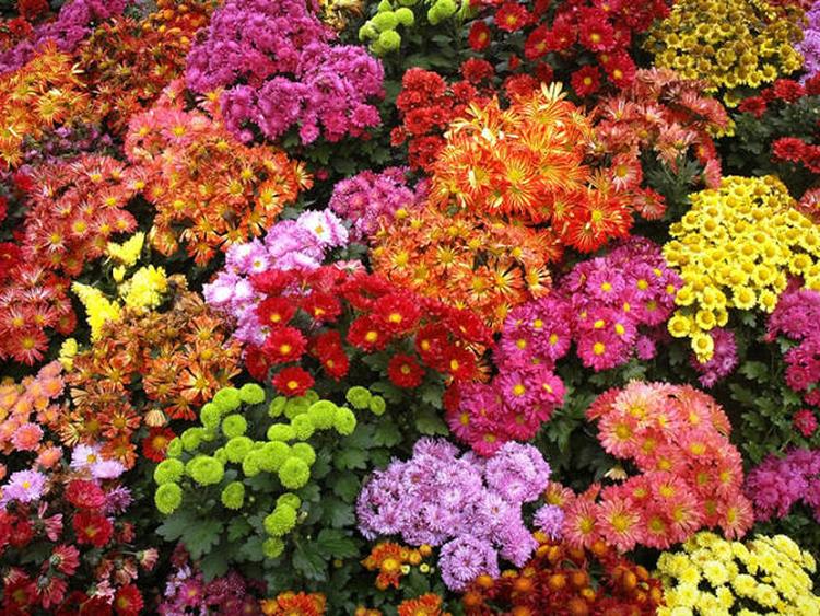 Синие хризантемы 29 фото как делают голубые хризантемы Особенности выращивания кустовой синей хризантемы