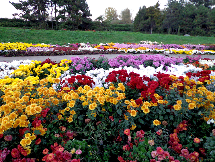 Выращивание садовых хризантем: выбор сорта, посадка, уход