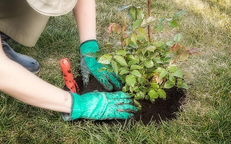 Как выращивать саженцы роз