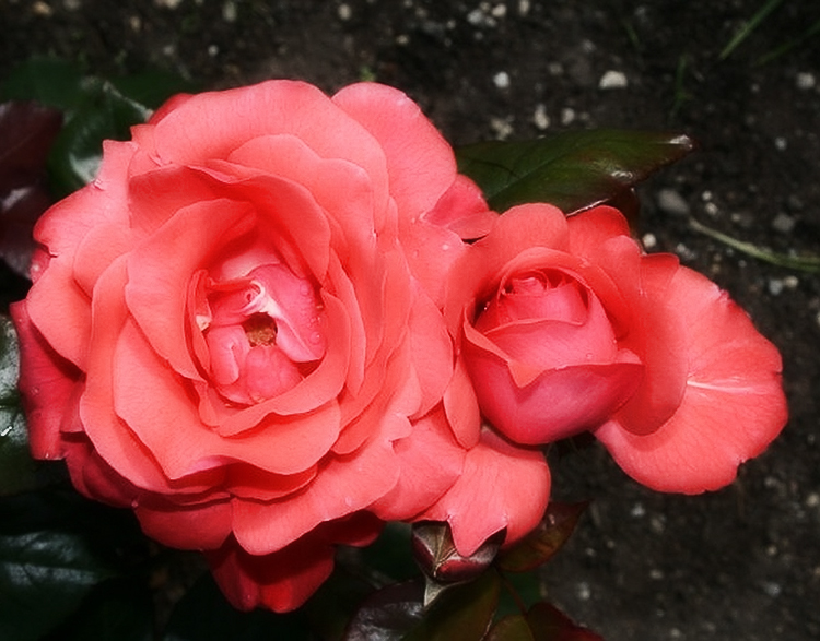 Выращивание садовых роз в открытом грунте: советы и правила