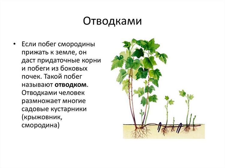 Выращивание смородины на приусадебном участке