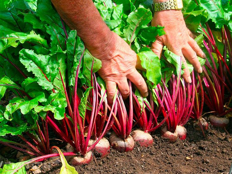 Гербициды для сезонной борьбы с сорняками у красной свеклы