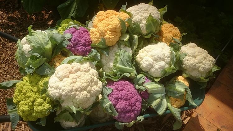 Выращивание цветной капусты на садовом участке
