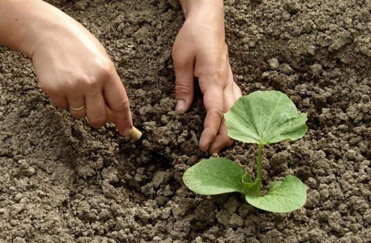 Выращивание тыквы: советы проверенные временем