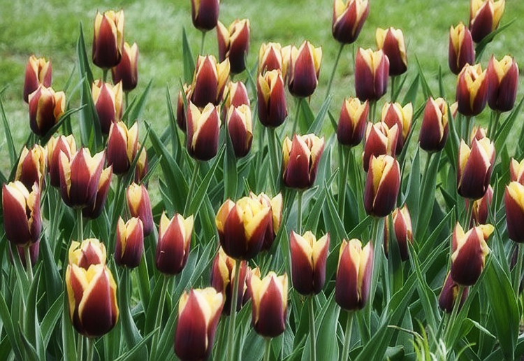 Выращивание тюльпанов в открытом грунте: правила и рекомендации