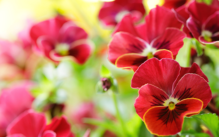 Выращивание виолы на приусадебном участке: советы и правила