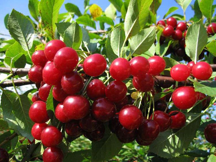 Выращивание вишни: сорта, уход, обрезка кроны, размножение