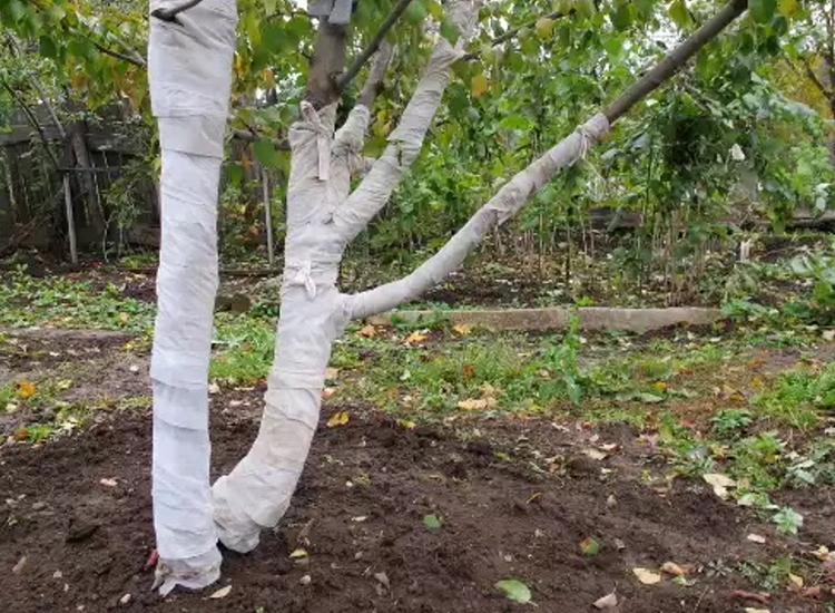 Выращивание абрикоса: все правила агротехники
