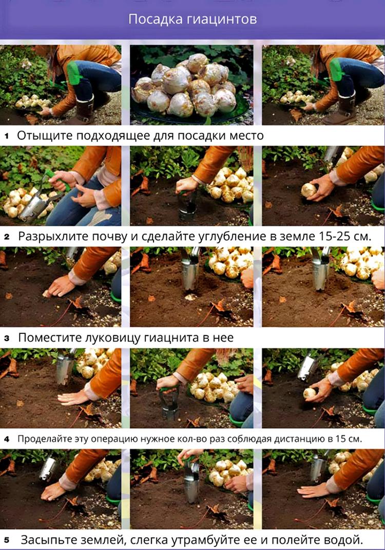 Выращивание гиацинтов: выбор сорта, посадка, уход