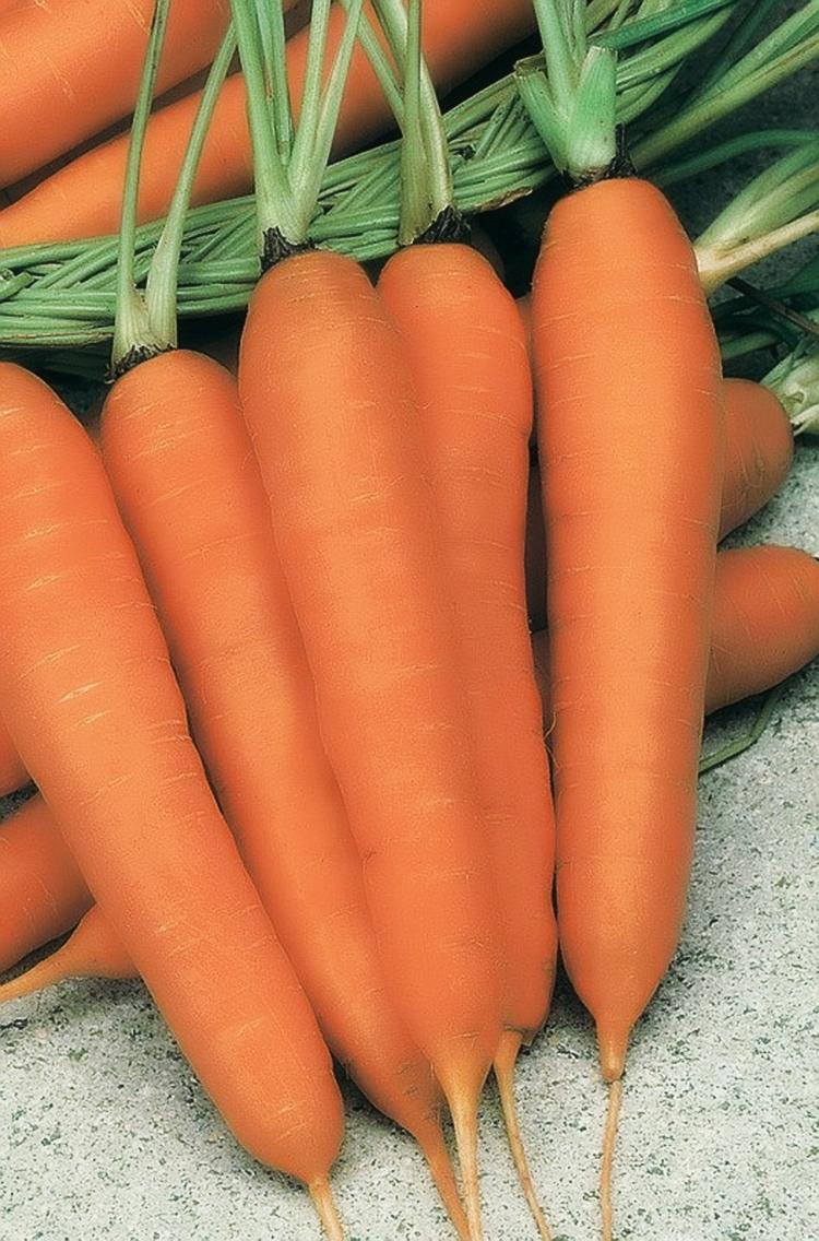 Выращивание моркови в открытом грунте: правила и рекомендации